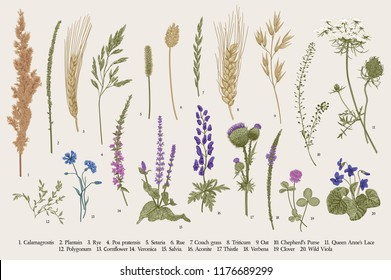 Summertime. Plants of fields and forests. Flowers, cereals. Vector vintage botanical illustration.