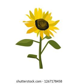 sun flower isolated vector