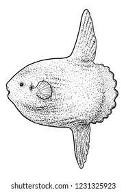 Sunfish or moonfish illustration, drawing, engraving, ink, line art, vector