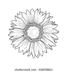 Sunflower aster daisy isolated on white background. ?lose-up flower macro view. Detailed black and white vector illustration.