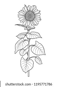 Sunflower for coloring book idolated on white background vector