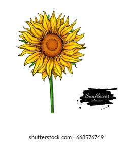 Sunflower flower vector drawing. Hand drawn illustration isolated on white background. Artistic style colorful botanical sketch.