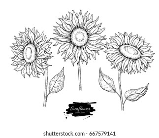 Sunflower flower vector drawing set. Hand drawn illustration isolated on white background. Vintage style botanical sketch.