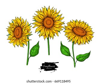 Sunflower flower vector drawing set. Hand drawn illustration isolated on white background. Artistic style colorful botanical sketch.