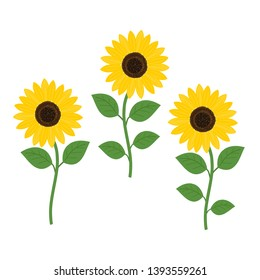 Sunflower with green leaves isolated on white background vector illustration