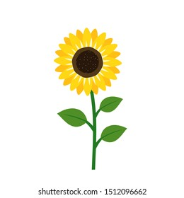 Sunflower with green leaves isolated on white background vector illustration.