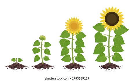 Sunflower growth stages. Agriculture plant development. Harvest animation progression. Vector illustration infographic set.