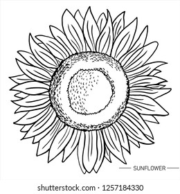 sunflower hand drawn vector art