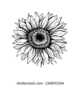 Sunflower hand drawn vector illustration. Blooming flower closeup ink pen sketch. Blossom outline black and white drawing. Helianthus isolated clipart. Floral, botanical engraving design element