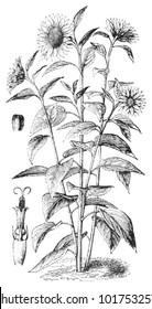 Sunflower (Helianthus annuus) / vintage illustration from Brockhaus Konversations-Lexikon 1908