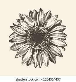 Sunflower illustration. Engraved vintage style. Vector isolated design.