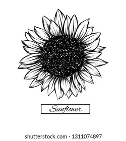 Sunflower isolated on white background. Antique engraving drawing illustration of big flower.Vector, illustration and clip art on white backgrounds.Idea for business visit card, typography vector,prin