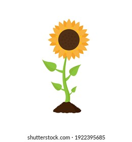 Sunflower with leaves. Cartoon style. Vector illustration isolated on a white background.