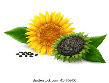 Sunflower with leaves and seeds on white background. Vector illustration.