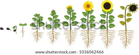 Sunflower life cycle Growth