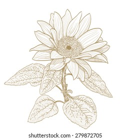 sunflower monochrome drawing on white