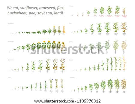 Sunflower rapeseed flax buckwheat pea soybean potato wheat. Vector showing the progression growing plants. Determination of the growth stages biology