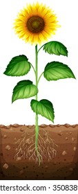 Sunflower with roots underground illustration