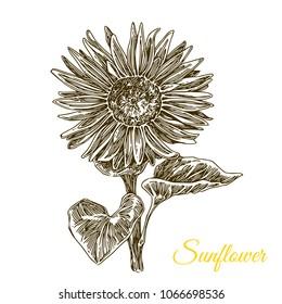 Sunflower. Sketch. Engraving style. Vector illustration.