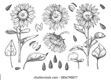 Sunflower vector. Isolated grain seed, stem, blossom sunflower bud, leaf and flower illustration. Sketched helianthus outline floral ink pen. Wildflower freehand sketch drawing on white background