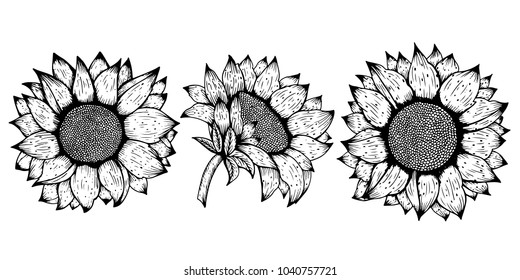 Sunflower. Vector set of hand drawn sunflowers and leaves isolated on white background.