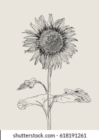 Sunflower. Vector set of hand drawn sunflowers and leaves , vintage style.