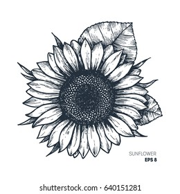 Sunflower vintage engraved illustration. Sunflower isolated . Vector illustration