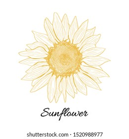Sunflower yellow blooming sketch illustration. Vector hand drawn isolated illustration. Can be use for organic and natural products. Retro style.