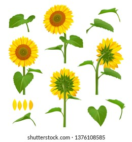 Sunflowers illustrations. Garden botanical yellow beauty sunflowers with seeds vector floral background pictures