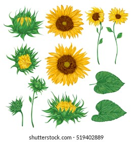 Sunflowers set. Collection decorative floral design elements for wedding invitations and birthday cards. Isolated elements. Vintage hand drawn vector illustration in watercolor style.