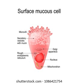 surface mucous cell is a foveolar (mucus-producing) cell that covering the inside of the stomach. Structure cell: golgi apparatus, secretory vesicle, mucin, nucleus,  mitochondrion, microvilli
