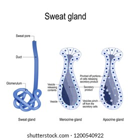 sweat gland. Merocrine and apocrine. different of manner of secretion. cross-section of the human skin, with the sweat gland. Vector diagram for educational, medical, biological and science use