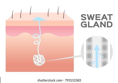 sweat gland vector / skin