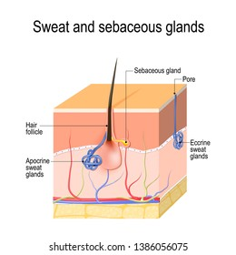 Sweat glands (apocrine, eccrine) and sebaceous gland. Cross section of the Human skin with hair follicle, blood vessels and glands. Vector diagram for educational, medical, biological, scientific use
