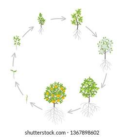 Sweet oranges tree growth stages. Vector illustration. Ripening period progression. Orange fruit tree life cycle animation plant seedling. Orange increase phases. Citrus aurantium