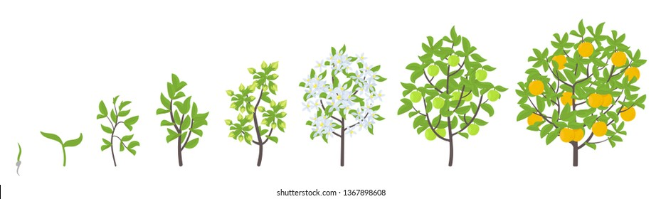 Sweet oranges tree growth stages. Vector illustration. Ripening period progression. Orange fruit tree life cycle animation plant seedling. Orange increase phases. Citrus aurantium