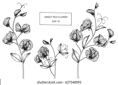 Sweet pea flowers drawing and sketch with line-art on white backgrounds.