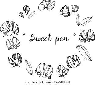 Sweet pea  illustration on white background.