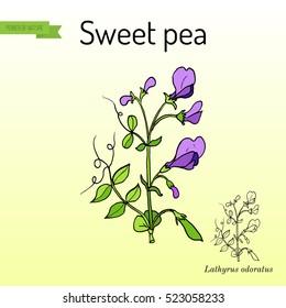 Sweet pea (Lathyrus odoratus). Hand drawn botanical vector illustration