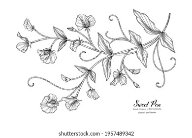 Sweet peas flower and leaf hand drawn botanical illustration with line art.
