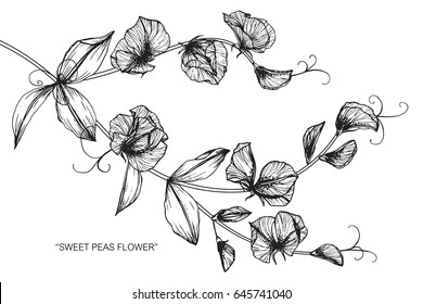 Sweet peas flowers drawing and sketch with line-art on white backgrounds.