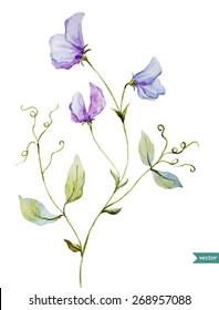 sweet peas, watercolor, flowers