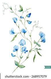 sweet peas, watercolor, flowers, delicate, vintage, painting
