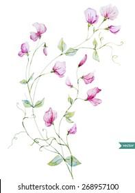 sweet peas, watercolor, flowers,  vintage,