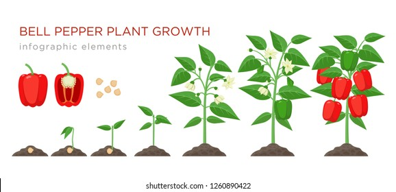 Sweet pepper plant growth stages infographic elements in flat design. Planting process of bell pepper from seeds, sprout to ripe vegetable, plant life cycle isolated illustration on white background