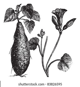 Sweet Potato or Ipomoea batatas, vintage engraved illustration, showing root (left) and flowers (right). Trousset encyclopedia (1886 - 1891).