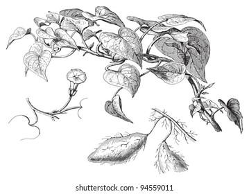 Sweet potato (Ipomoea batatas) / vintage illustration from Meyers Konversations-Lexikon 1897