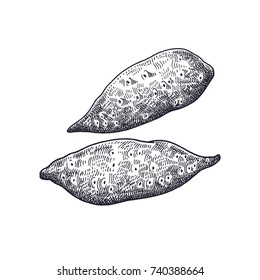 Sweet potato. Vegetables isolated for kitchen design. Vector illustration of food. Hand drawing style vintage engraving. Black and white.