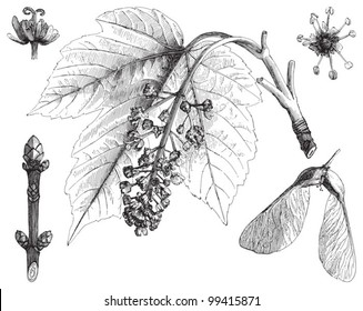 Sycamore maple (Acer pseudoplatanus) / vintage illustration from Meyers Konversations-Lexikon 1897