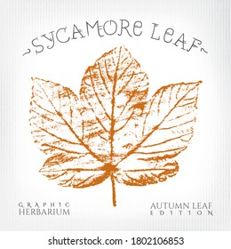Sycamore Maple Leaf Vintage Print Style Illustration with Authentic Logo Lettering from Autumn Leaf Edition of Graphic Herbarium - Black and Rusty on Grunge Background - Vector Stamp Graphic Design